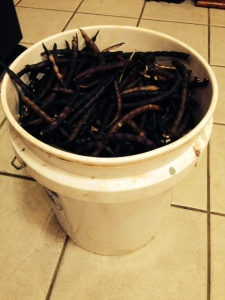 purple hulls in bucket